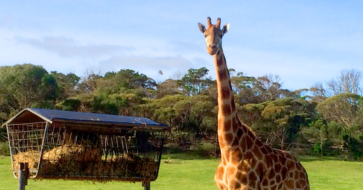 Primal Leadership: If a giraffe could change its spots, should it?